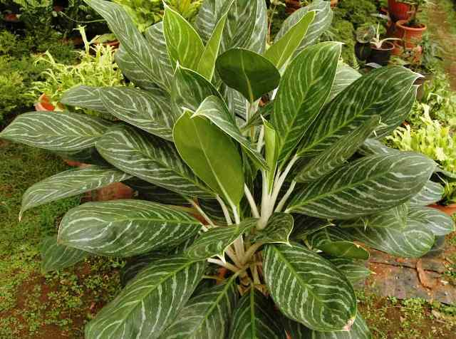 Aglaonema snow cap